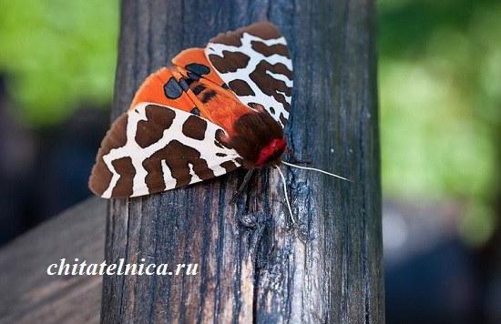 бабочка медведица Кая